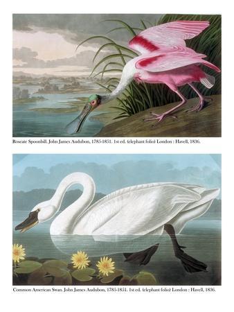 Roseate Spoonbill and Common American Swan, 1836-John James Audubon-Framed Giclee Print
