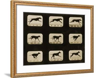 Greyhounds Running, from the 'Animal Locomotion' Series, C.1881-Eadweard Muybridge-Framed Photographic Print