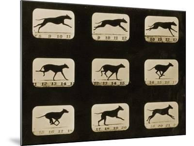 Greyhounds Running, from the 'Animal Locomotion' Series, C.1881-Eadweard Muybridge-Mounted Photographic Print