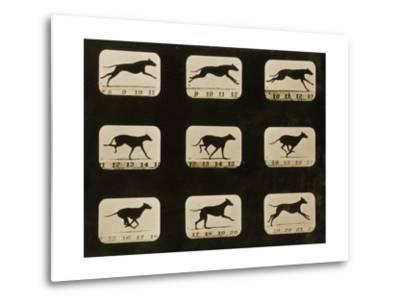 Greyhounds Running, from the 'Animal Locomotion' Series, C.1881-Eadweard Muybridge-Metal Print