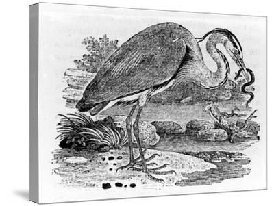 Heron, Illustration from 'A History of British Birds' by Thomas Bewick, First Published 1797-Thomas Bewick-Stretched Canvas Print