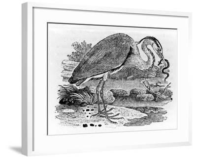 Heron, Illustration from 'A History of British Birds' by Thomas Bewick, First Published 1797-Thomas Bewick-Framed Giclee Print