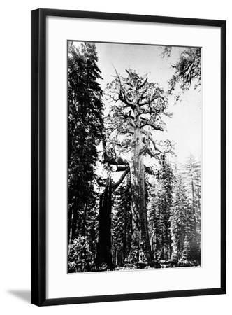The Grizzly Giant, C.1860s-Carleton Emmons Watkins-Framed Photographic Print