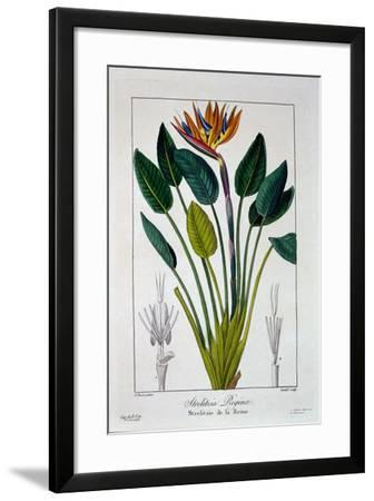 Bird of Paradise, or Crane Flower, 1836-Pancrace Bessa-Framed Giclee Print