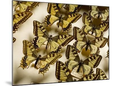 Drawer of Swallowtail Butterflies--Mounted Photographic Print