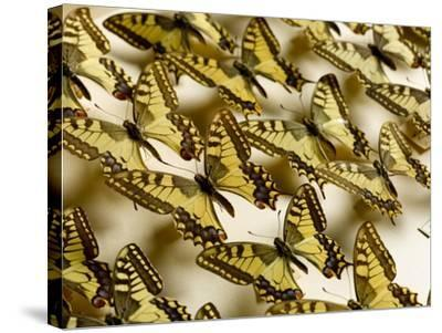 Drawer of Swallowtail Butterflies--Stretched Canvas Print