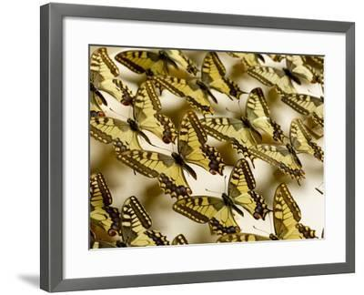 Drawer of Swallowtail Butterflies--Framed Photographic Print