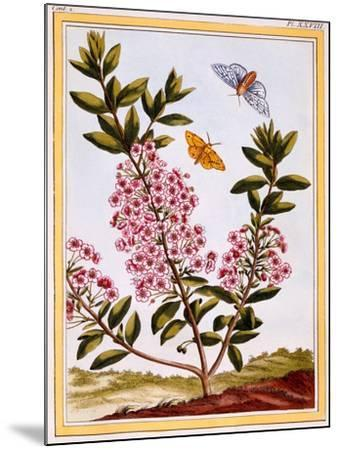 Sheep's Laurel (Kalmia Augustifolia), C.1766-Pierre-Joseph Buchoz-Mounted Giclee Print