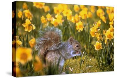 Grey Squirrel Amongst Daffodils Eating a Nut-Geoff Tompkinson-Stretched Canvas Print
