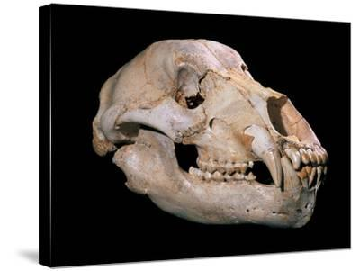 Bear Skull, Sima De Los Huesos-Javier Trueba-Stretched Canvas Print