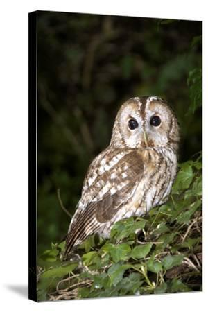 Tawny Owl-Colin Varndell-Stretched Canvas Print