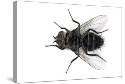 Parasitic Fly-Dr. Keith Wheeler-Stretched Canvas Print