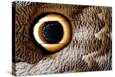 Macrophotograph of Owl Butterfly Wing-Dr. Keith Wheeler-Stretched Canvas Print