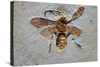 Wasp Fossil-Dirk Wiersma-Stretched Canvas Print