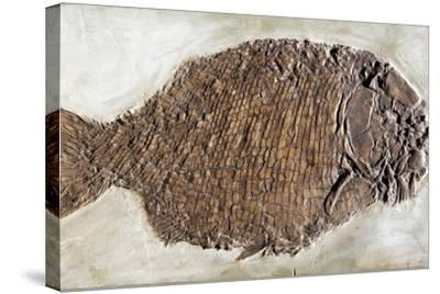 Fossil Fish, Dapedium Punctatus-Dirk Wiersma-Stretched Canvas Print