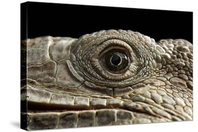 Iguana Eye-Linda Wright-Stretched Canvas Print