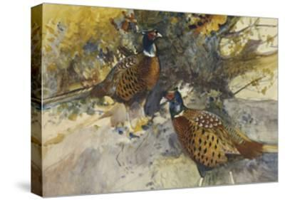 Cock Pheasants under a Beech Tree-Frank Southgate-Stretched Canvas Print