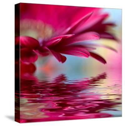 Closeup Of Pink Daisy-Gerbera With Soft Focus Reflected In The Water-silver-john-Stretched Canvas Print