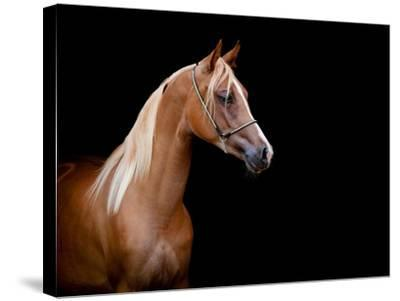 Horse Head Isolated On Black Background-Alexia Khruscheva-Stretched Canvas Print