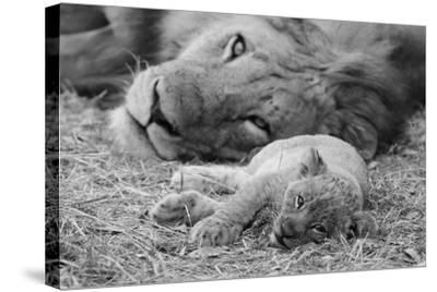 Cute Lion Cub Resting With Father-Donvanstaden-Stretched Canvas Print