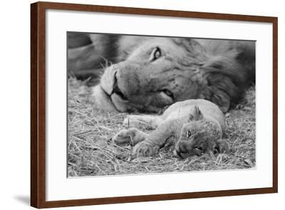 Cute Lion Cub Resting With Father-Donvanstaden-Framed Art Print