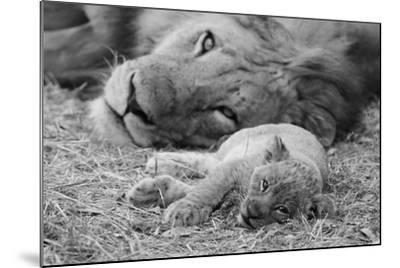 Cute Lion Cub Resting With Father-Donvanstaden-Mounted Art Print