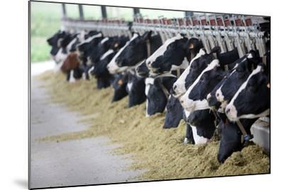 Holstein Cows-Alexandru Nika-Mounted Art Print