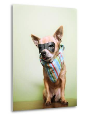 A Cute Chihuahua With A Mask And Bandana On-graphicphoto-Metal Print