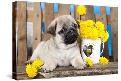 Pug Puppy And Spring Dandelions Flowers-Lilun-Stretched Canvas Print