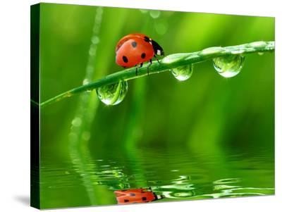 Fresh Morning Dew And Ladybird-volrab vaclav-Stretched Canvas Print