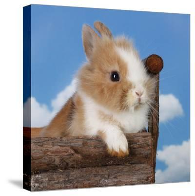 Rabbit Baby Bunny Outdoor-Richard Peterson-Stretched Canvas Print