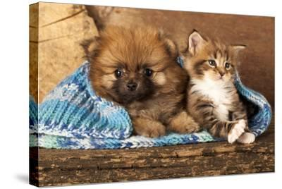 Spitz Puppy And Kitten Breeds Maine Coon, Cat And Dog-Lilun-Stretched Canvas Print