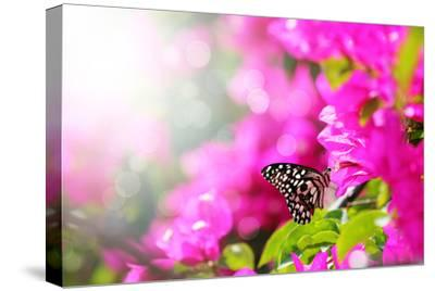 Majestic Morning Scene With Butterfly Feeding On Nectar Of A Bouganvillea Flower With Sunrays-smarnad-Stretched Canvas Print
