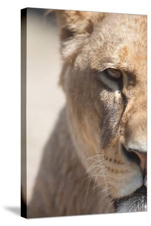 Close-Up Portrait Of A Majestic Lioness (Panthera Leo)-l i g h t p o e t-Stretched Canvas Print