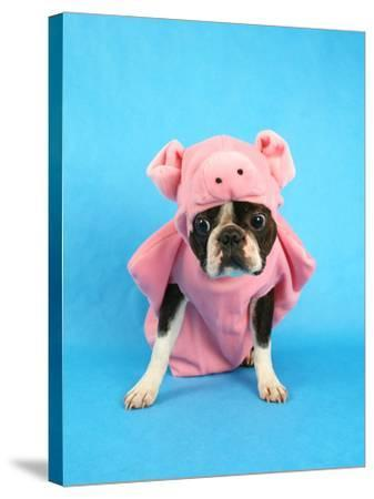 A Boston Terrier In A Pig Costume-graphicphoto-Stretched Canvas Print