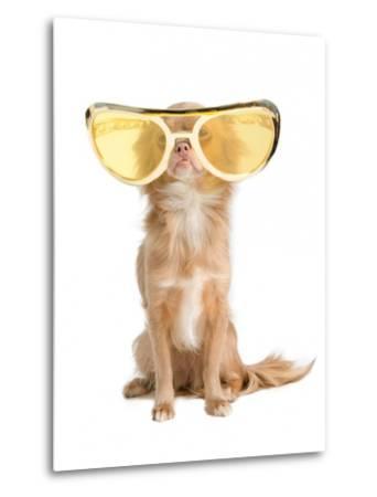 Tiny Chihuahua Dog With Funny Huge Glasses-vitalytitov-Metal Print