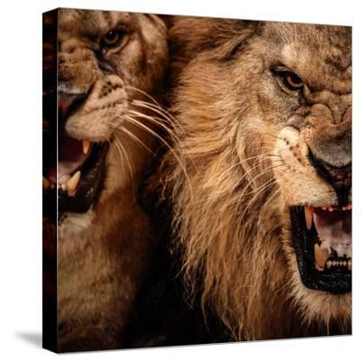 Close-Up Shot Of Two Roaring Lion-NejroN Photo-Stretched Canvas Print
