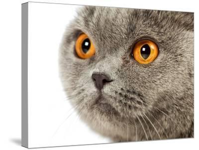 British Shorthair Cat-AberratioN-Stretched Canvas Print