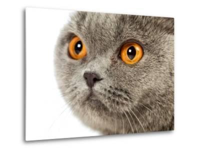 British Shorthair Cat-AberratioN-Metal Print
