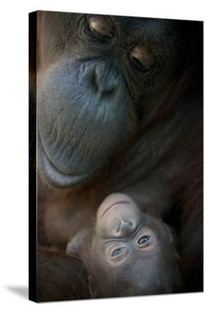 Mother Orangutan And Her Newborn Baby 1 Months - Pongo Pygmaeus-Life on White-Stretched Canvas Print