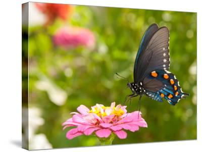 Green Swallowtail Butterfly Feeding On A Pink Zinnia In Sunny Summer Garden-Sari ONeal-Stretched Canvas Print