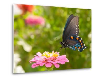 Green Swallowtail Butterfly Feeding On A Pink Zinnia In Sunny Summer Garden-Sari ONeal-Metal Print