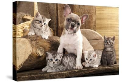 Cat And Dog, British Kittens And French Bulldog Puppy In Retro Background-Lilun-Stretched Canvas Print