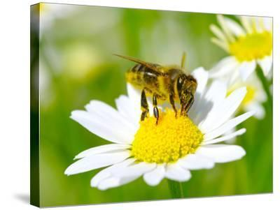 Bee On The Chamomile Flower-Ale-ks-Stretched Canvas Print