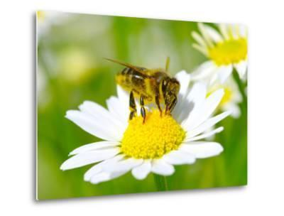 Bee On The Chamomile Flower-Ale-ks-Metal Print