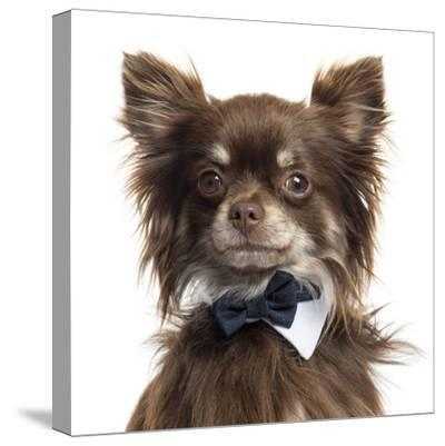 Close Up Of A Chihuahua Wearing A Bow Tie, Isolated On White-Life on White-Stretched Canvas Print