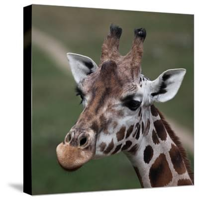 Giraffe - Close-Up Portrait Of This Beautiful African Animal-l i g h t p o e t-Stretched Canvas Print