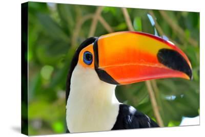 Toucan Outdoor - Ramphastos Sulphuratus-mirceab-Stretched Canvas Print