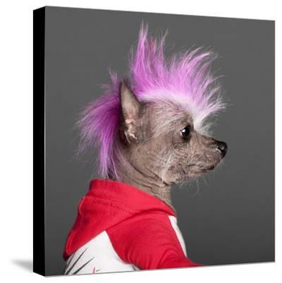 Close-Up Of Chinese Crested Dog With Pink Mohawk, 4 Years Old, In Front Of Grey Background-Life on White-Stretched Canvas Print