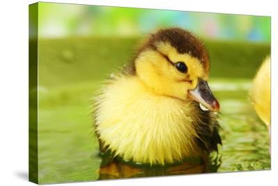 Cute Ducklings Swimming, On Bright Background-Yastremska-Stretched Canvas Print